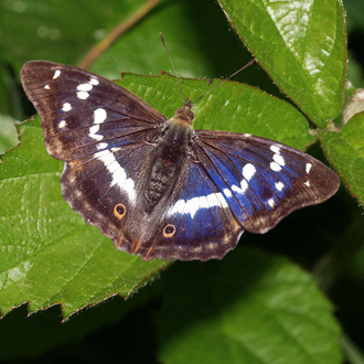 Purple Emperor (Apatura iris) showing the effect of light refraction