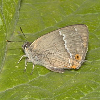 Purple Hairstreak (Quercusia quercus) is the commonest of the group