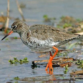 Redshanks (Tringa totanus) need little incentive to raise the alarm