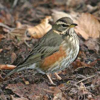 Redwing (Turdus iliacus) come across from Scandinavia in droves for winter food