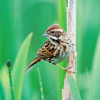 Reed Bunting (Emberiza schoeniclus) female in a characteristic pose