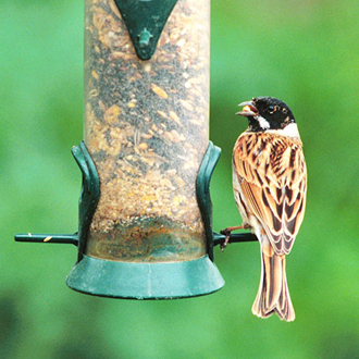 Reed Bunting male making good use of a seed feeder