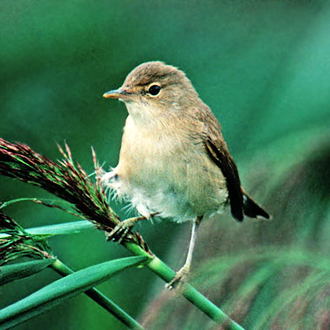 A Reed Warbler (Acrocephalus scirpaceus) in its natural habitat