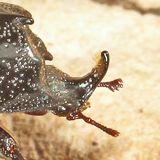 Rhinoceros Beetle male showing projection on face