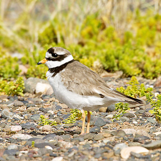 Ringed Plovers (Charadrius hiaticula) can have three broods
