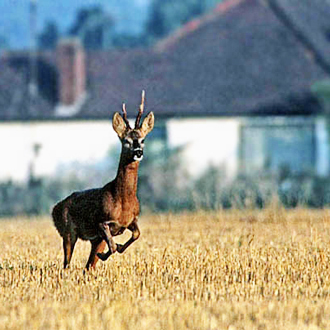 Roe Deer buck (Capreolus capreolus) leaping for cover