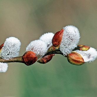 Catkins of the Sallow (Salix caprea), a tree that provides food for Purple Emperor larvae