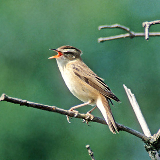 Male Sedge Warbler (Acrocephalus schoenobaenus) singing his heart out