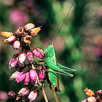 Short-winged Conehead (Conocephalus discolor) on Heather