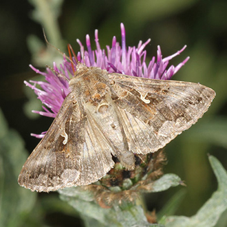 Silver-Y (Autographa gamma) moths migrate to Britain in considerable numbers