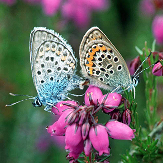 Silver-studded Blues (Plebeius argus), male left, mating