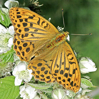 Silver-washed Fritillary (Argynnis paphea) is the largest of the fritillaries