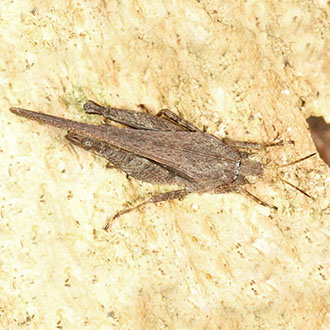 This Slender Groundhopper (Tetrix subulata) was in decaying wood on the ground by cherry laurel for a fortnight in 2014