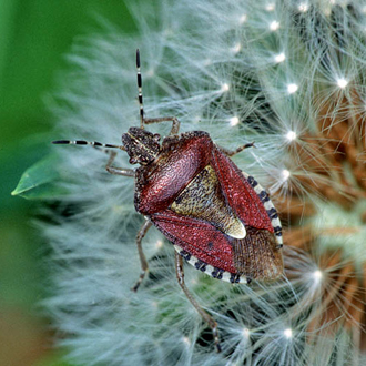Sloe Bug (Dolycoris baccarum) is not a specialist feeder
