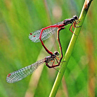 Small Red damselflies (Ceriagrion tenellum) mating