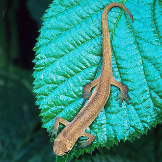 Smooth Newts (Triturus vulgaris) spend much of the year out of water