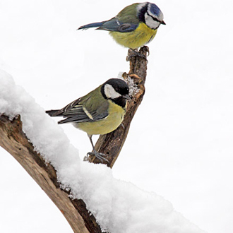 Cold conditions increase the value of garden feeders to songbirds