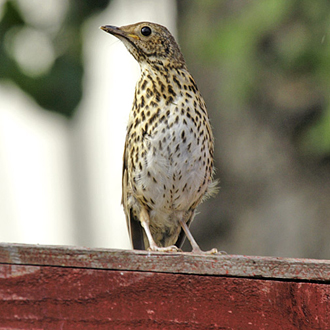 Immature Song Thrush perhaps wondering where its parents are