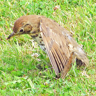 Song Thrush 'anting' to try and clear parasites