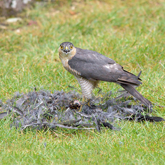 Sparrowhawks (Accipiter nisus) strike prey hard and fast