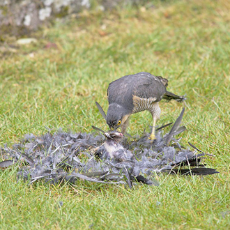 Little time is wasted in consuming the catch - here a Jackdaw