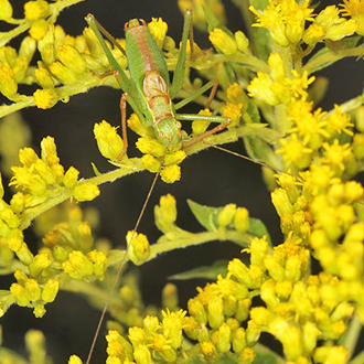 Well-camouflaged male Speckled Bush-cricket (Leptophyes punctatissima)