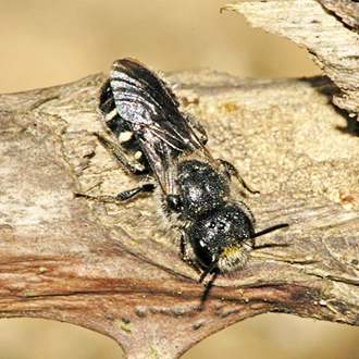 Stelis ornatula, a scarce cuckoo bee using Hoplitis claviventris as host