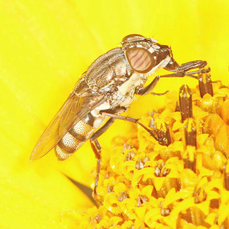 Stomorhina lunata is a migrant that looks like a hoverly but is in fact a blow fly
