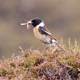 Male Stonechat (Saxicola torquata) with a moth for his offspring