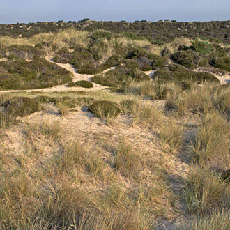 The dunes at Studland have pioneer plants on the edge and heather further inland