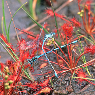 Oblong-leaved Sundew (Drosera intermedia) with captive damselflies