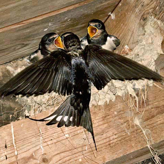 Adult Swallow feeding invertebrates to one of the brood