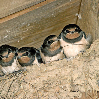 A quartet of immature Swallows takes a lot of feeding