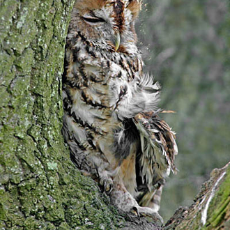 Tawny Owls (Strix aluco) are quite common throughout the South-East
