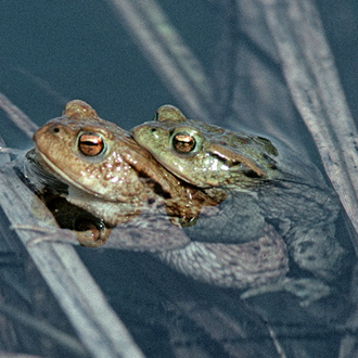 Common Toads (Bufo bufo) mate, often in a confused heap, in March