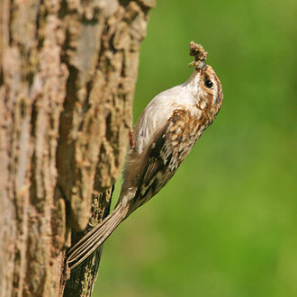 Treecreeper (Certhia familiaris) with food for the first brood