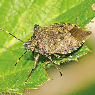 The adult Bronze Shieldbug is nothing like so bright in hue