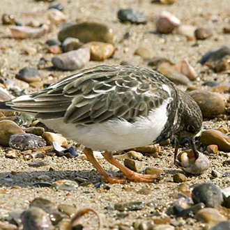 Turnstone (Arenaria interpres) taking advantage of shore detritus