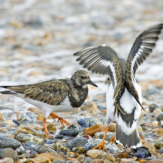 Disputes are not that common among feeding Turnstones