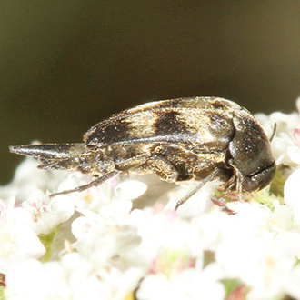 Variimorda villosa is saproxylic and nationally scarce