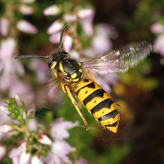 Social wasps such as vespula germanica can almost hover briefly when looking for prey