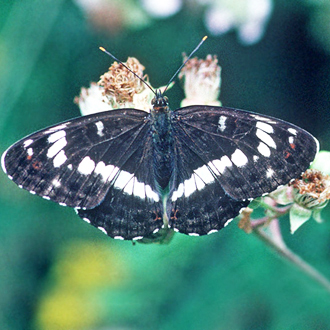 White Admiral (Ladoga camilla) is frequently found on brambles