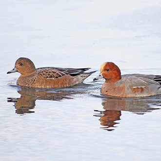 Wigeon (Anas Penelope) female and male