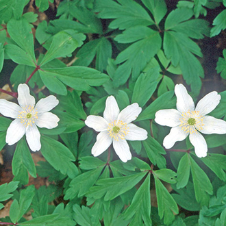Wood Anemones (Anemone nemorosa) provide a carpet of green and white