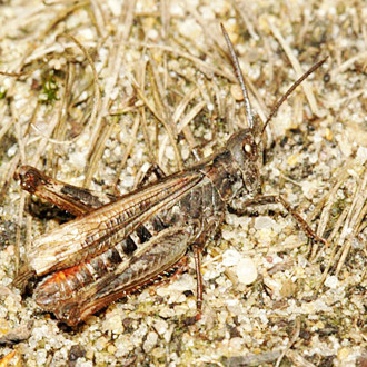 The Woodland Grasshopper (Omocestus rufipes) is nationally scarce