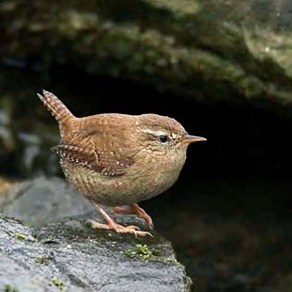 Wrens (Troglodytes troglodytes) are often found close to water