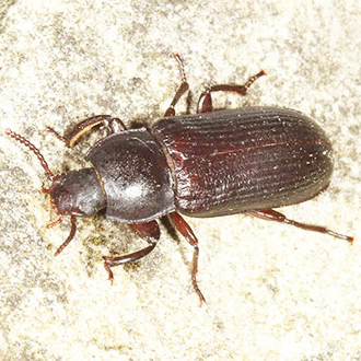 Yellow Mealworm Beetle (Tenebrio molitor) is the species that emerges from the mealworms fed to birds