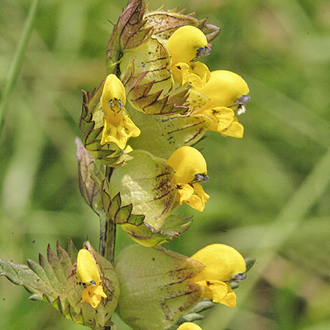 Yellow Rattle (Rhinanthus minor) is a great tool for the conservationist