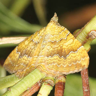 Yellow Shells (Camptogramma bilineata) are day-flying moths but usually stay well concealed