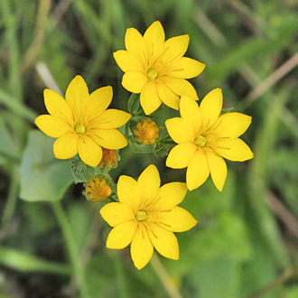 Yellow-wort (Blackstonia perfoliata) flowers close when the sun goes in
